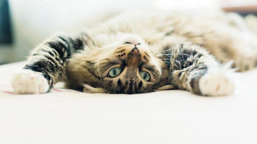 Чому коти муркочуть