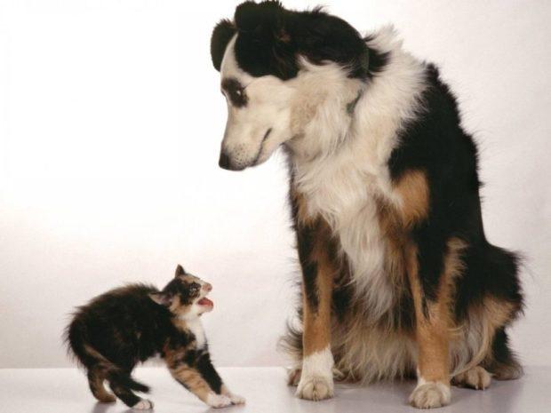 Чого коти бояться собак
