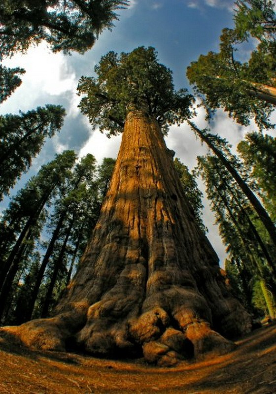 Найвище у світі дерево