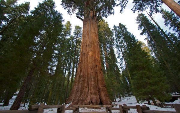 Найвище дерево в світі та на землі