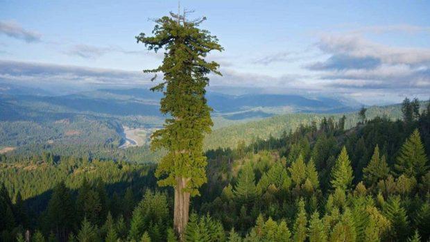Найвище дерево в світі