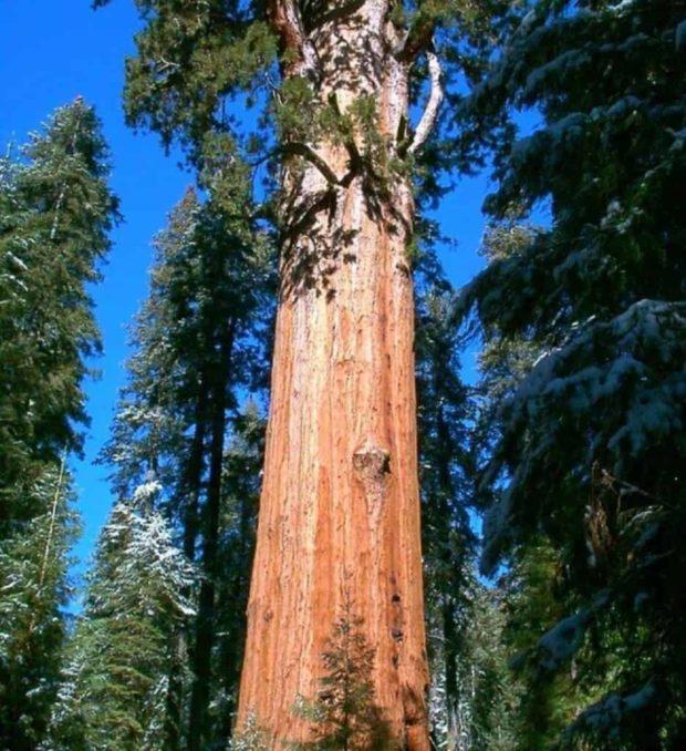Найбільше дерево в світі