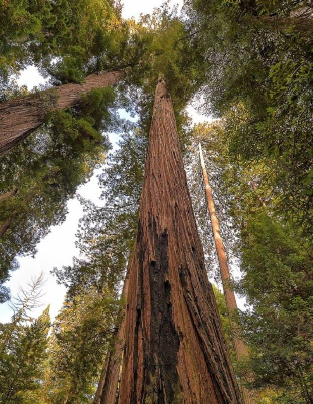 Найбільше дерево на планеті