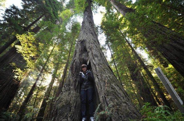 Найвище дерево у світі