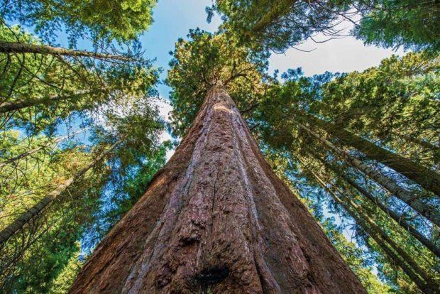 Найвище дерево на землі