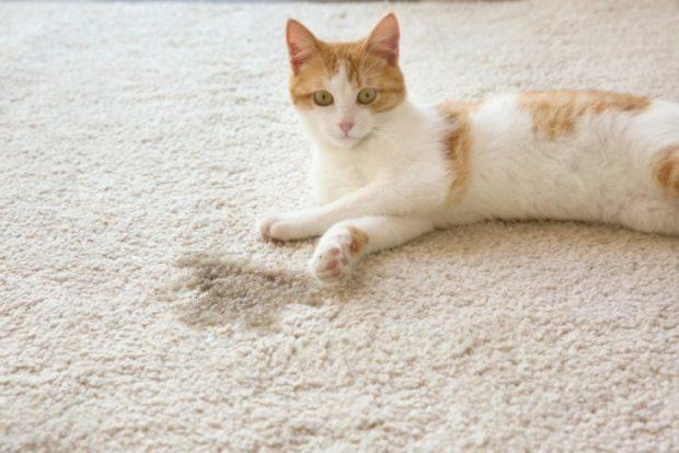 Як вивести запах котячої сечі з ковра