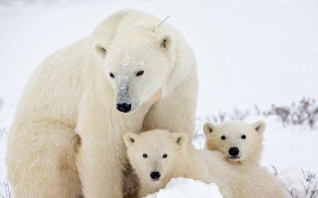 Цікавинки про білого ведмедя