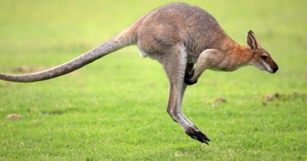 Цікавинки про кенгуру
