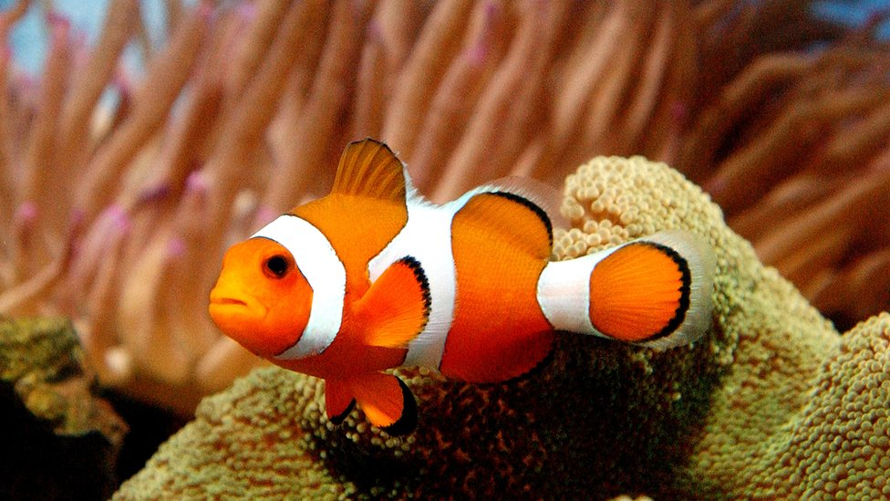 Риба клоун цікаві факти