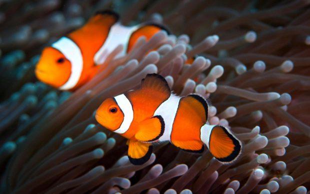 Цікаві факти про рибу-клоуна