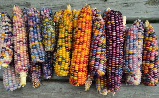 Цікавинки про кукурудзу