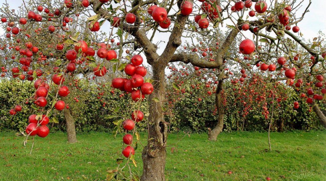 Загадки про яблуню на українській мові