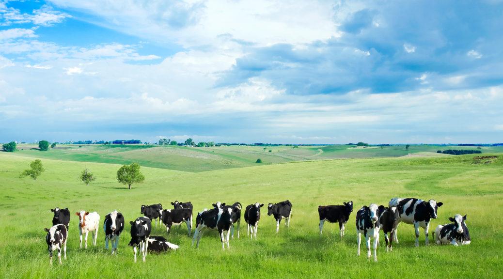 Цікаві факти про корову