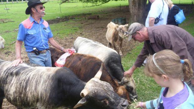 цікавинки про корів