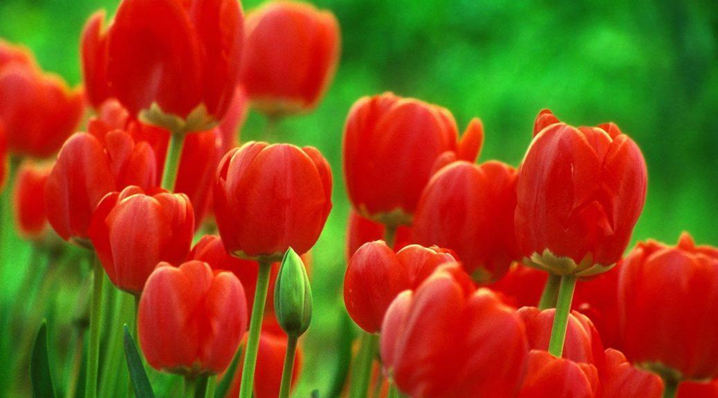 Загадки про тюльпан на українській мові