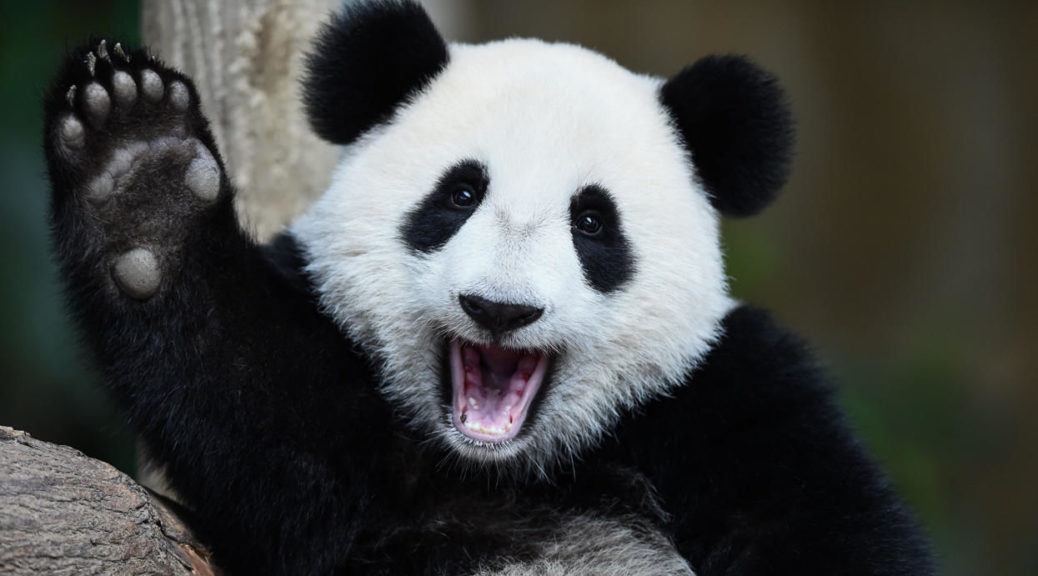 Цікаві факти про панду