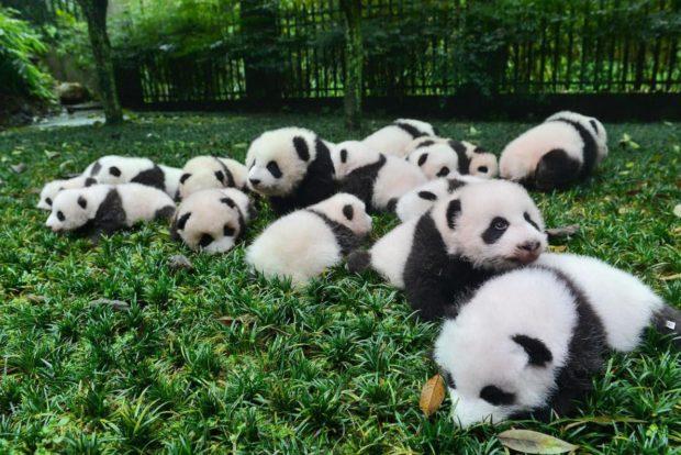 Цікавинки про панду