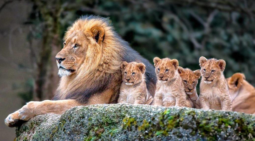 Цікаві факти про лева