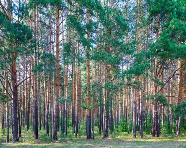 Цікаві факти про хвойний ліс