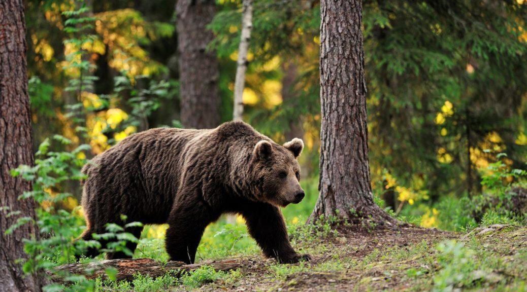 Бурий ведмідь цікаві факти