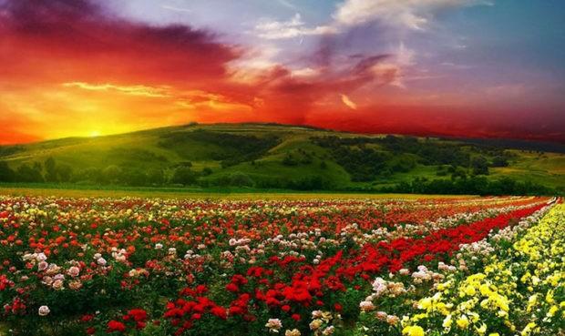 Цікаві факти про троянди