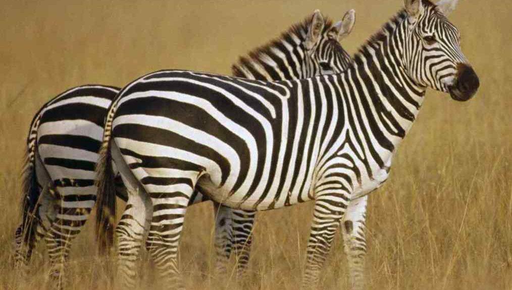 Цікаві факти про зебру