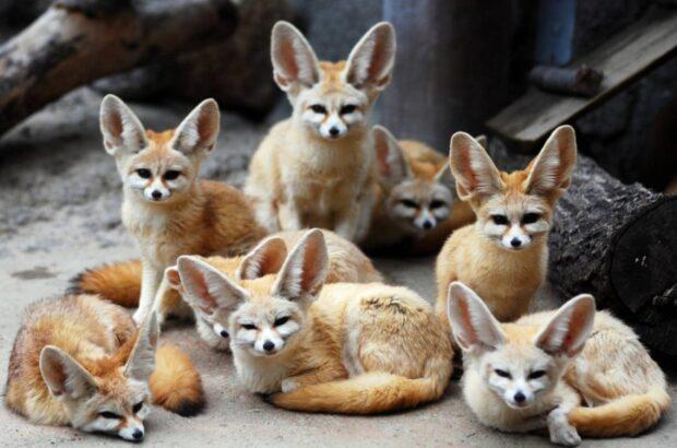 Цікаве про лисицю