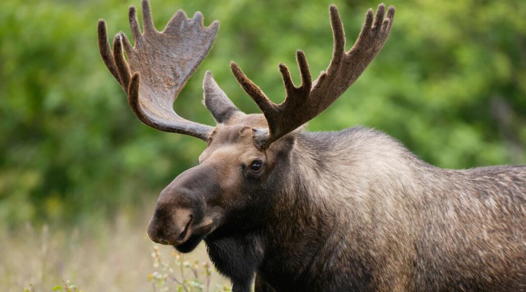 Цікаві факти про лося