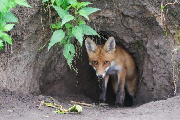 Цікавинки про лисиць