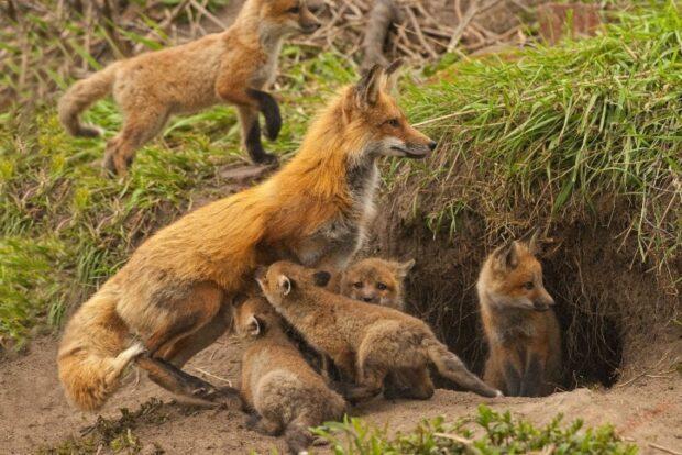 Цікава інформація про лисицю