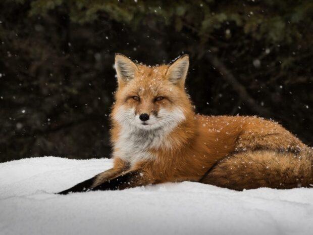Цікаві факти про лисицю для дітей