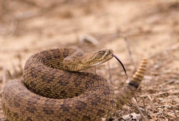 Гримуча змія цікаві факти