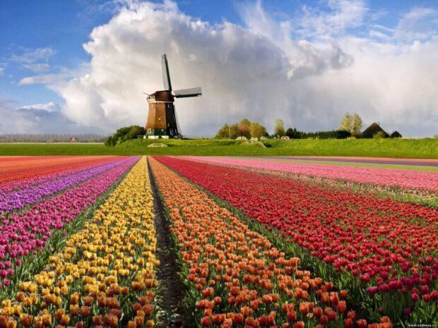 Цікаві факти про квітку тюльпан