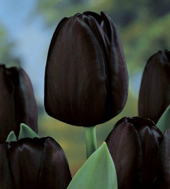 Цікавинки про тюльпани