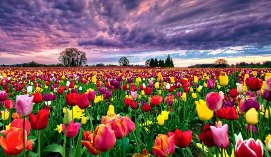 Цікаві факти про тюльпани