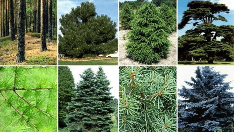 Цікаві факти про голонасінні рослини
